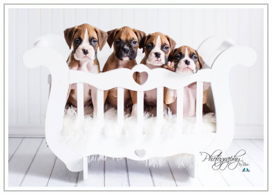 American Boxer Club: Buying A Boxer Puppy?
